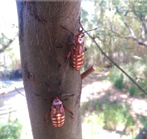 Mesquite Beetles